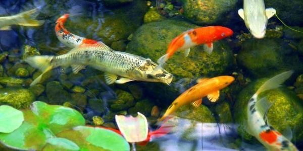 fish koi pond ideas for backyard makeover