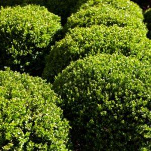 topiary cone shaped shrubs