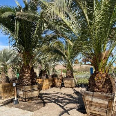 palm tree bracing support systems
